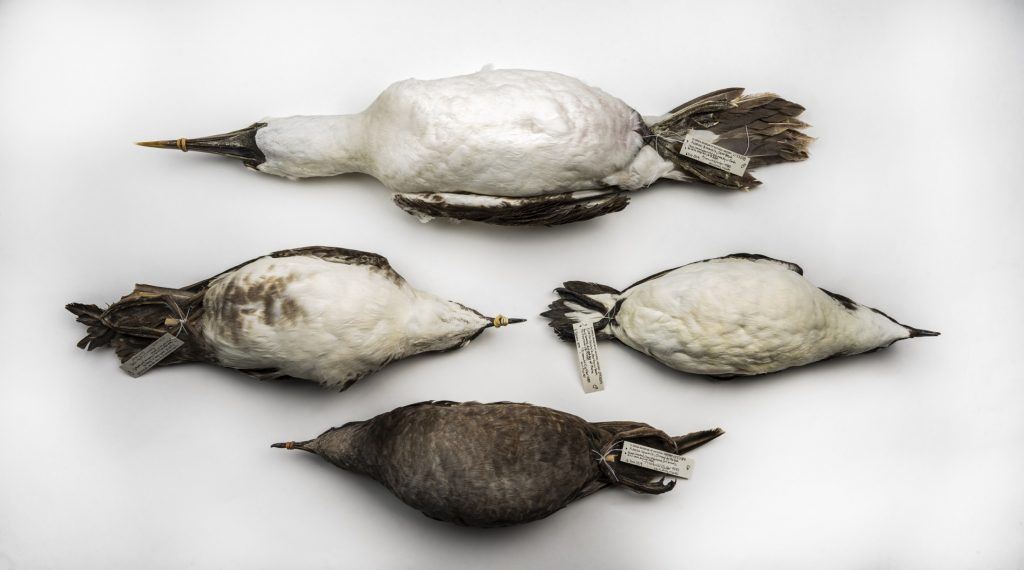 Prepared offshore bird specimens