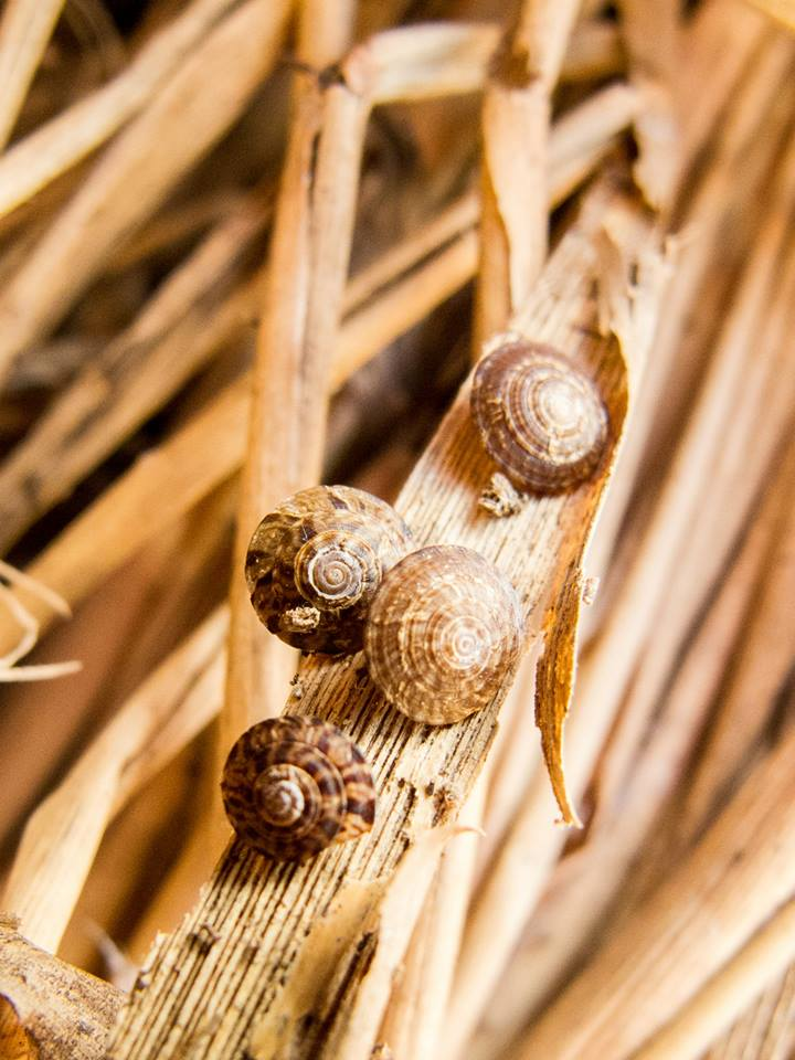 A group of brown snails