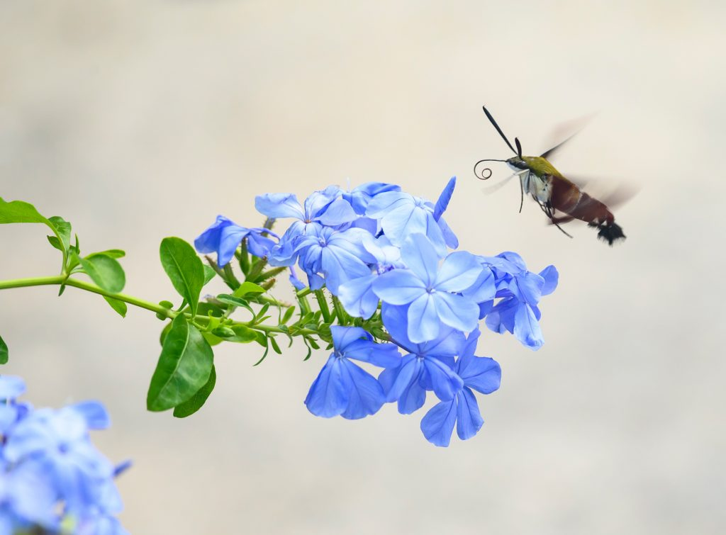 hummingbird hawk moth at flower