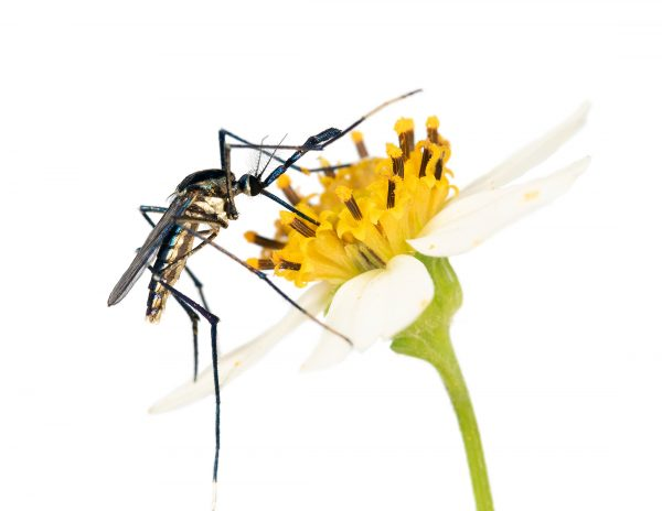 mosquito feeding at flower