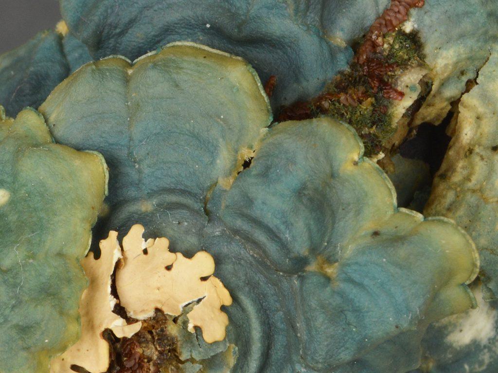 A lichen