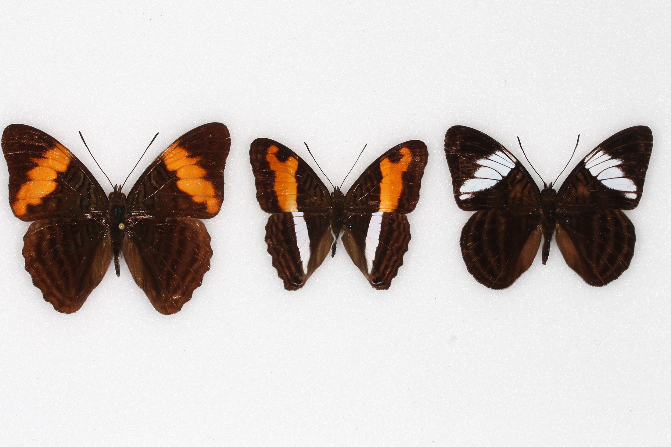 three butterfly specimens