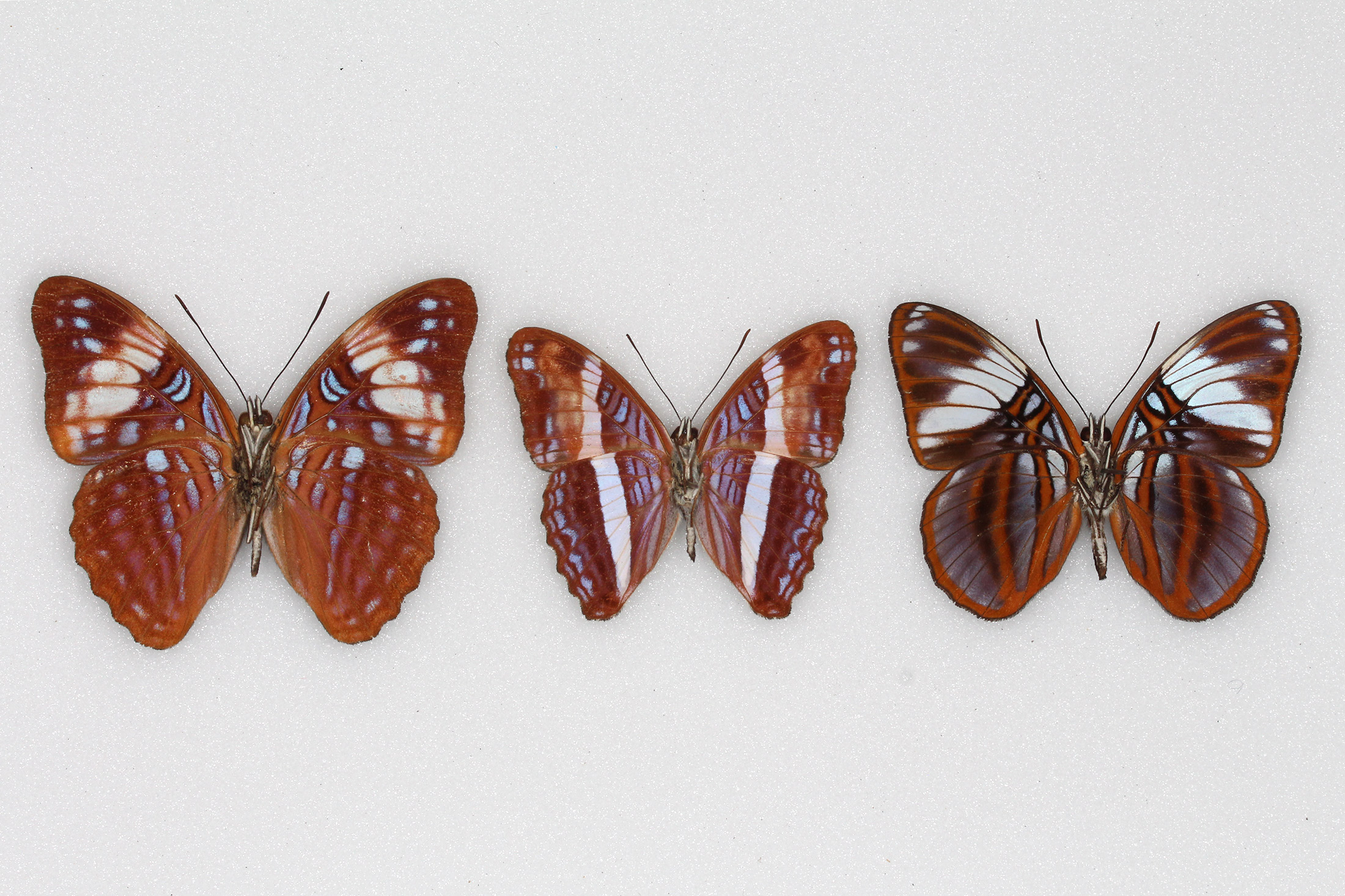 undersides of three butterfly specimens