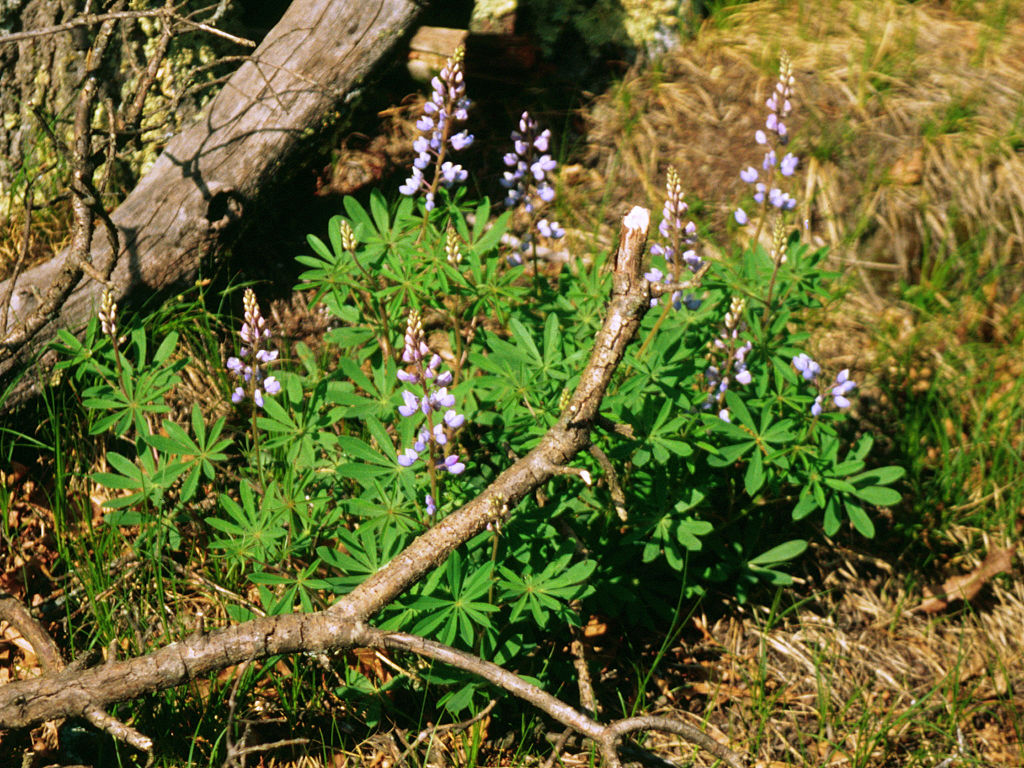 forest plant with purple flowers