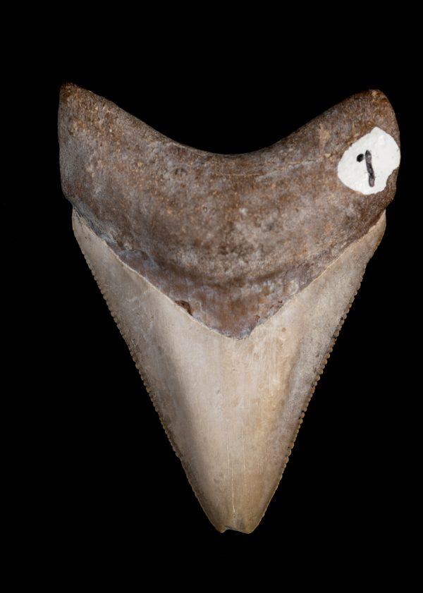 museum megalodon tooth specimen