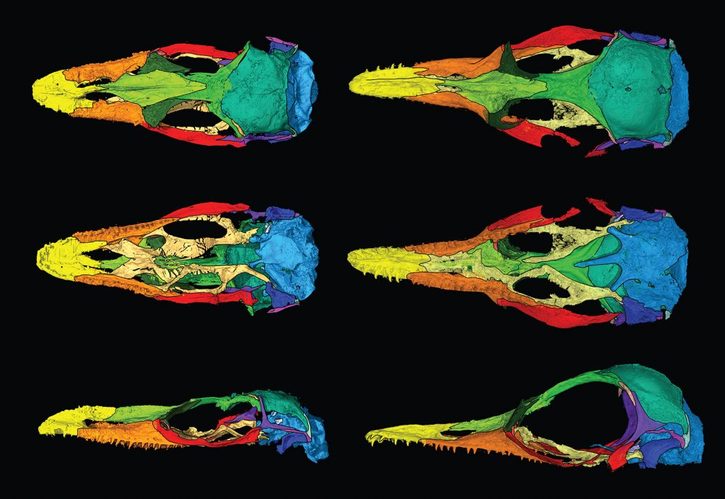 CT scans of fossil lizard skulls