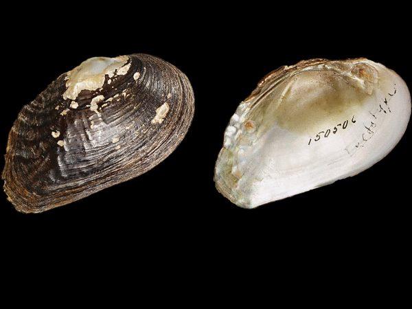 Museum specimen of Medionidus walkeri