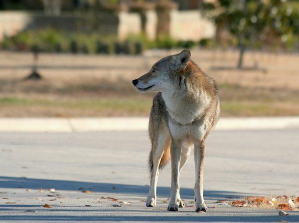 coyote on street