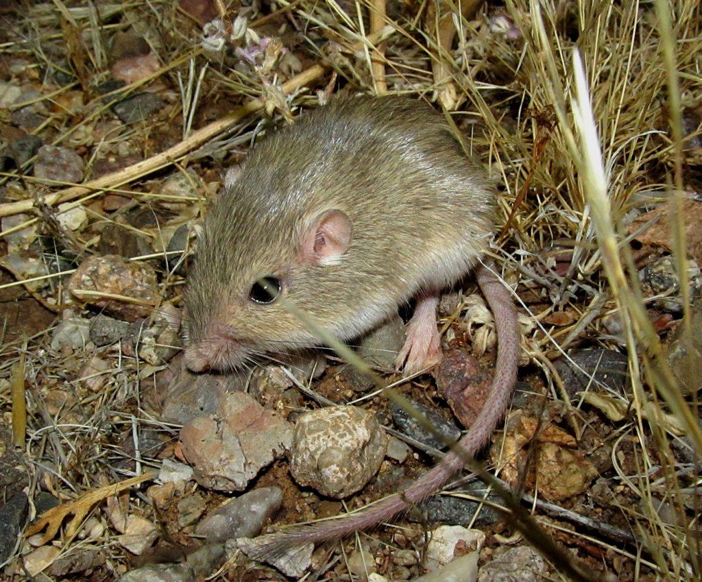 silky pocket mouse