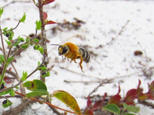 fuzzy orange bee in flight