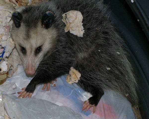 opossum raiding trash