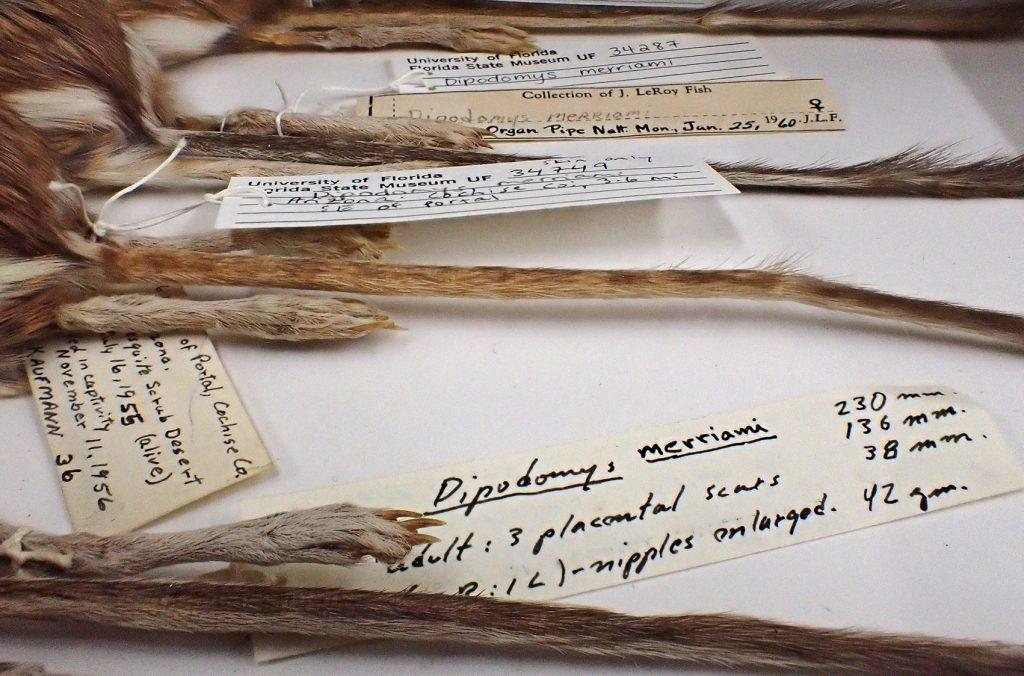 Merriam's kangaroo rats with specimen labels