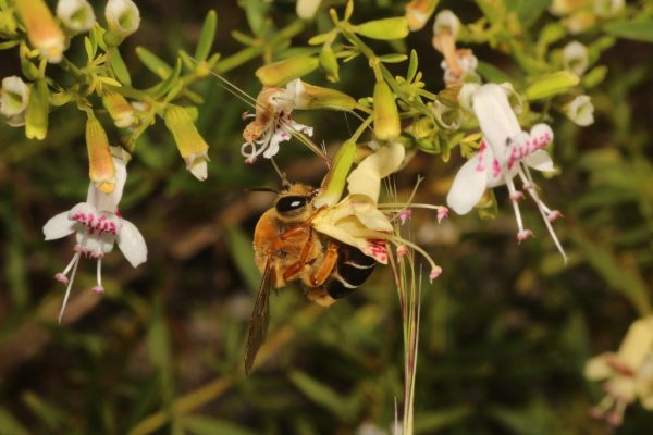 big hairy bee visiting flower