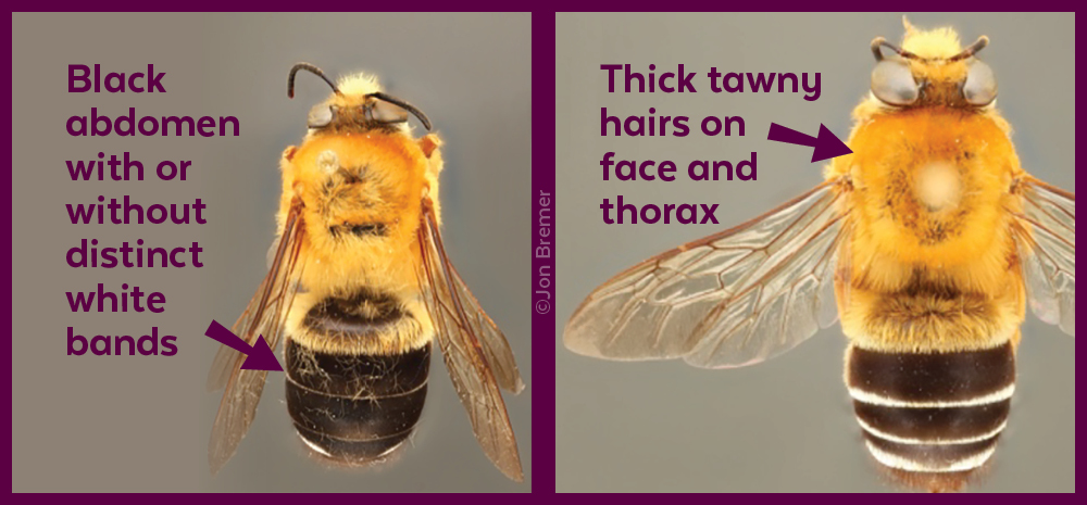 graphic showing bees' characteristics