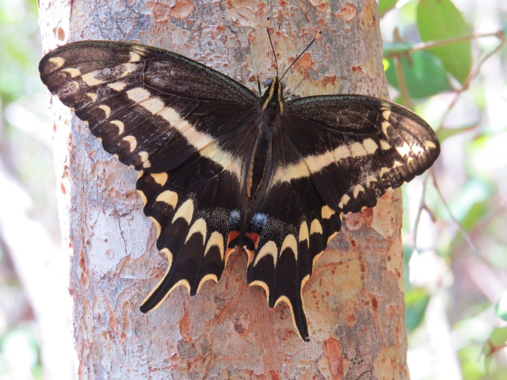 Schaus' swallowtail butterfly perched on a tree