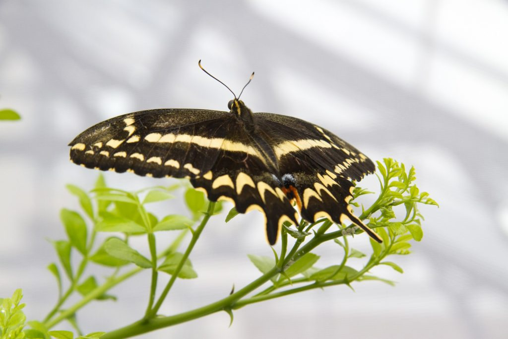 Schaus' swallowtail butterfly perched on wild lime