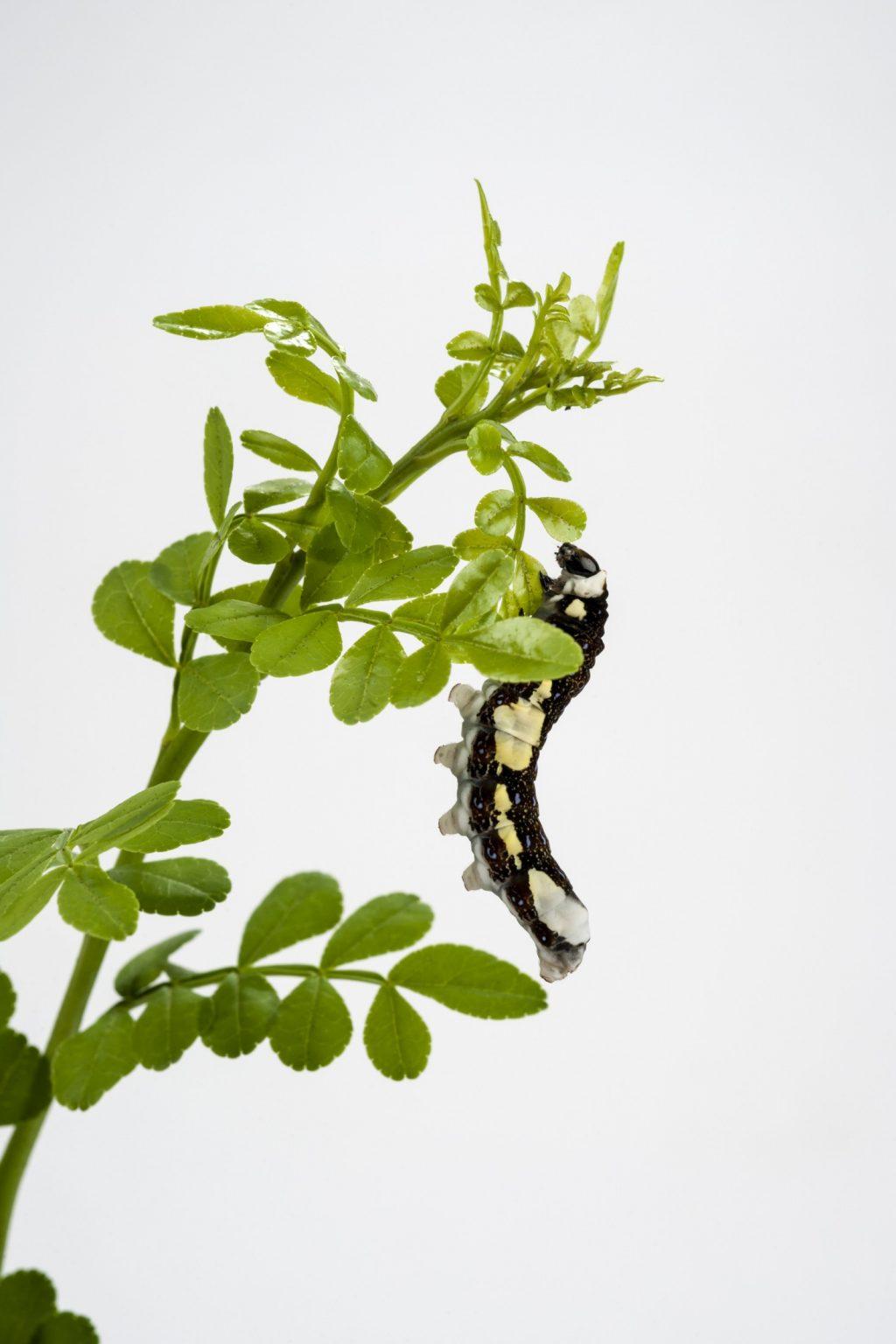 Schaus' swallowtail caterpillar munching on fresh wild lime leaves