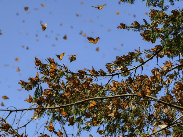 Monarch butterlies on branch and in sky