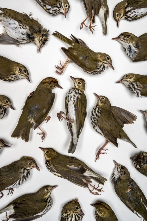 array of dead ovenbirds
