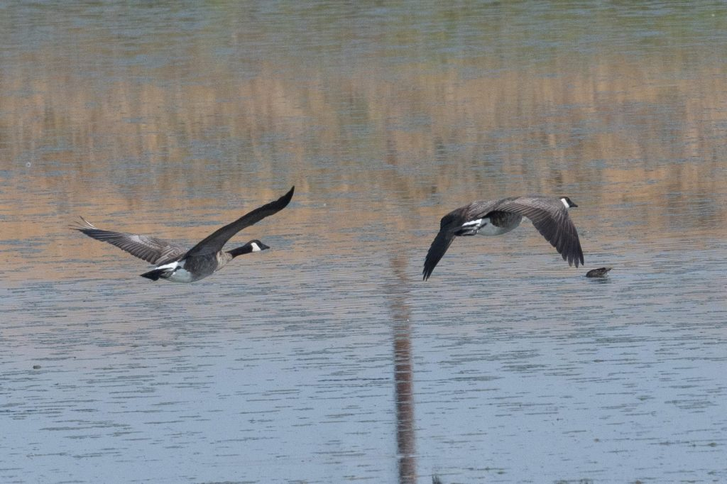 geese flying over water