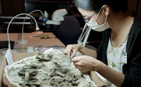 paleontologist prepping specimen in plaster jacket