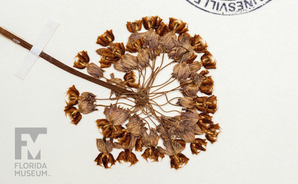 Clasping milkweed
