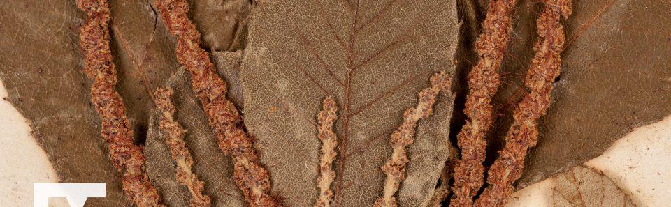 Dwarf chestnut