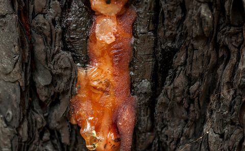 Longleaf pine sap