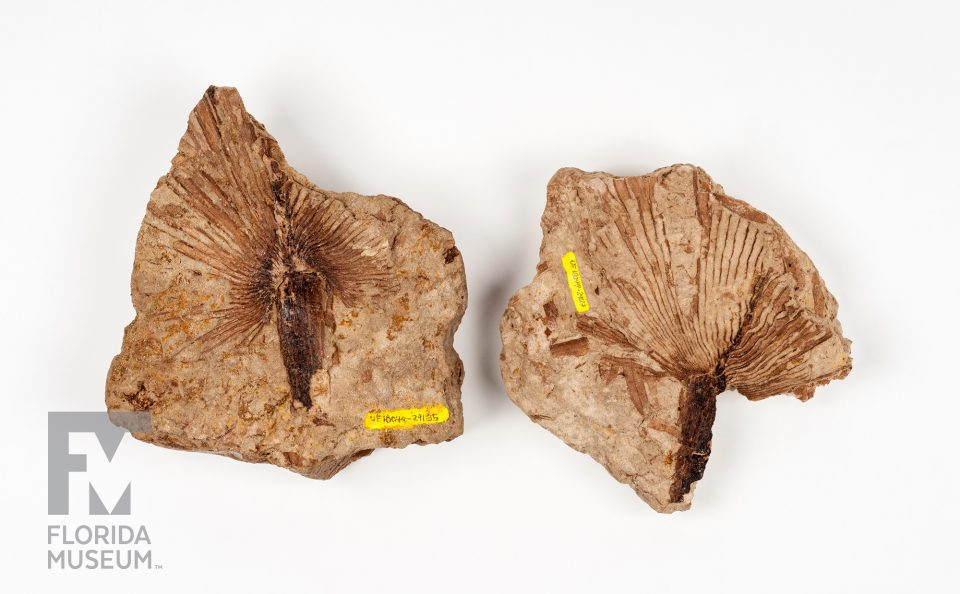 Fossil Palm