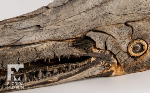 Mummified Alligator Gar