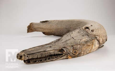 Mummified Alligator Gar