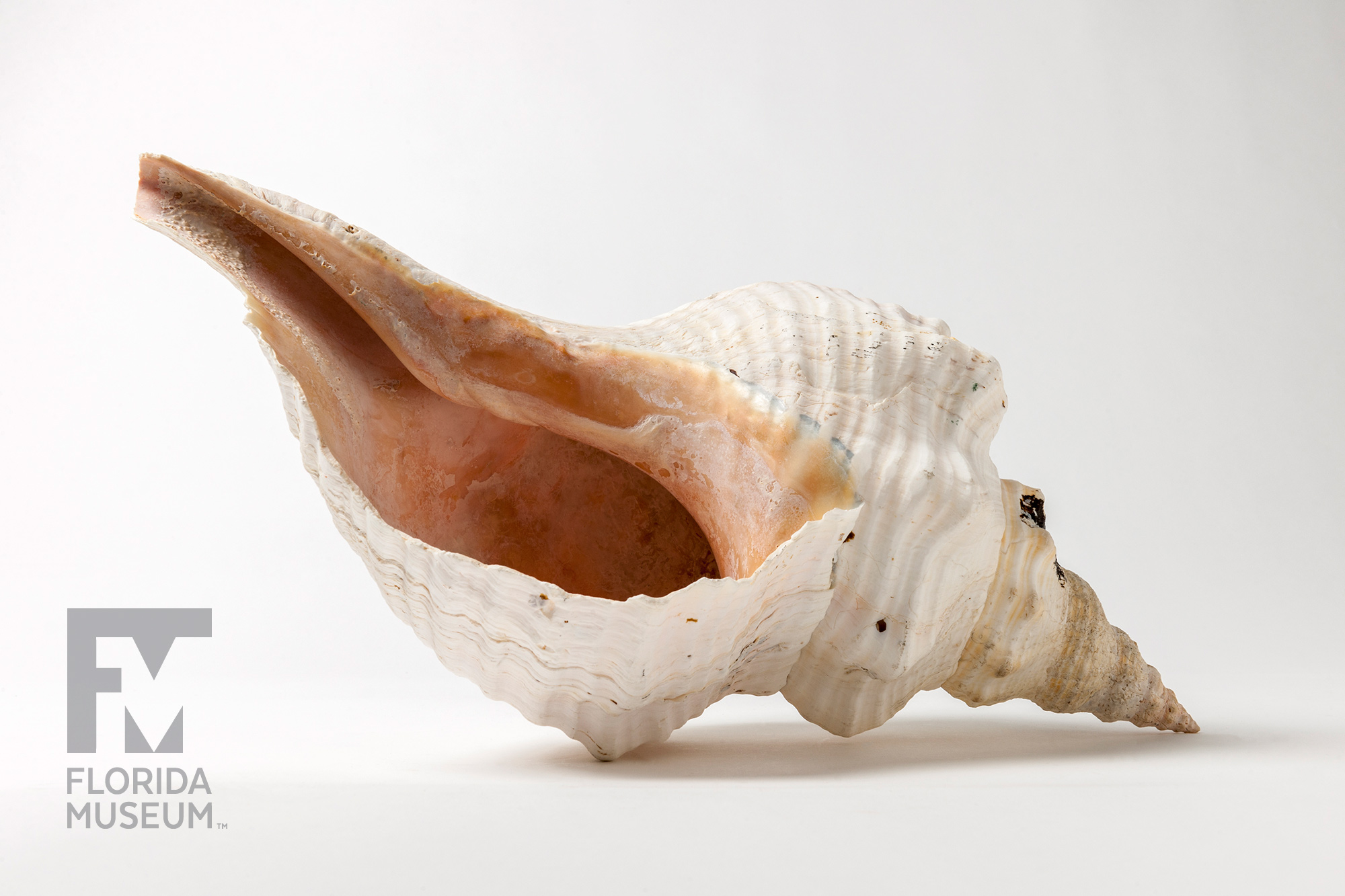 Horse conch buycottarizona Gallery