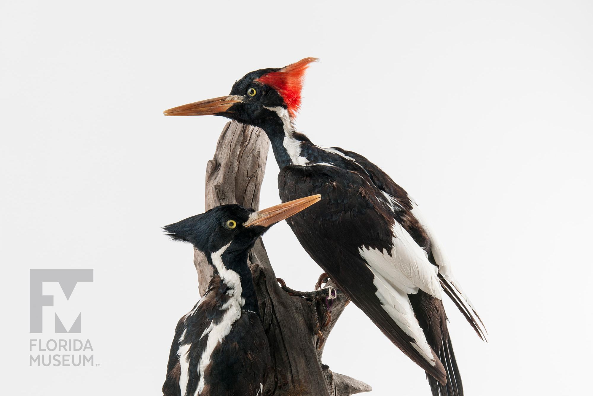 Attraktiva Ivory-billed Woodpecker AE-77
