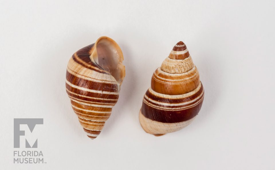 Hawaiian Snails (Partulina virgulata)