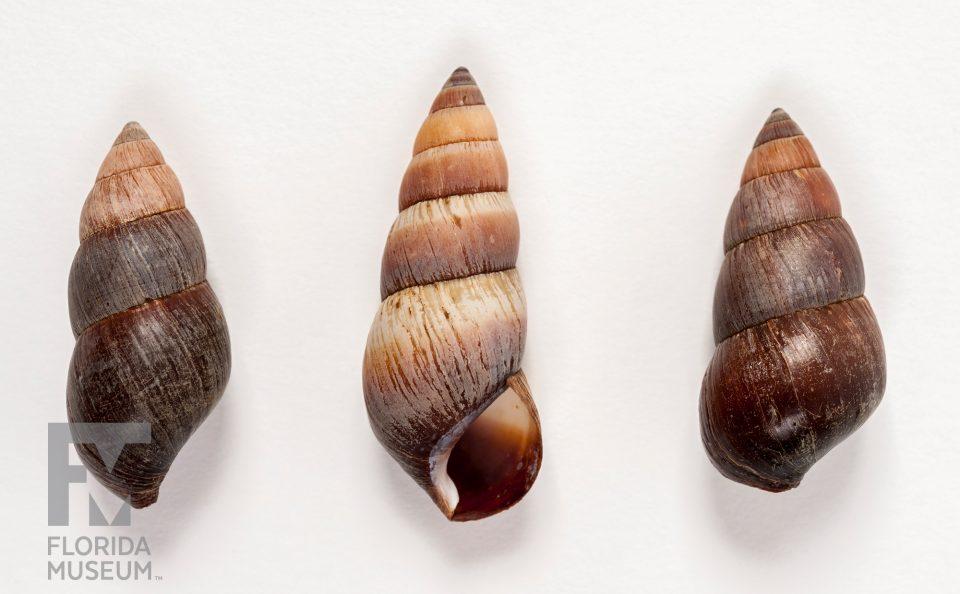 Carelia bicolor
