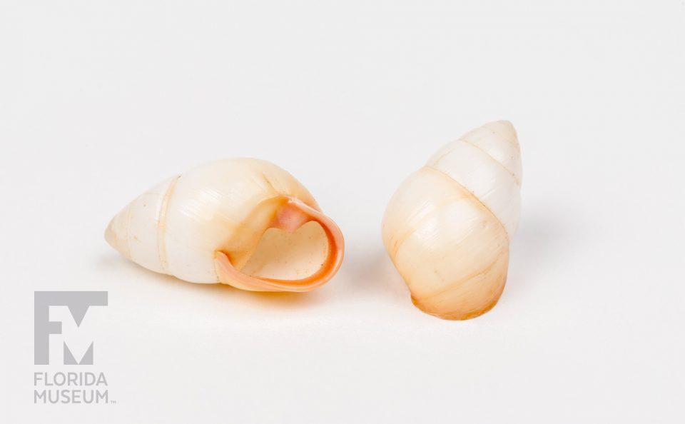 Achatinella rosea