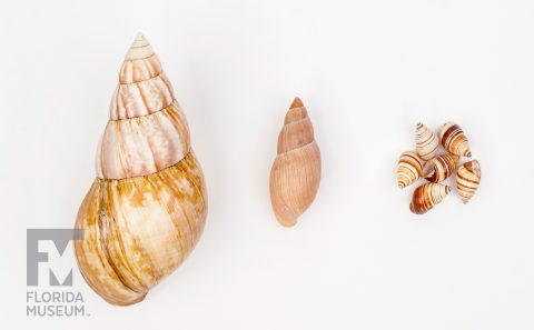 Native and Invasive Snails