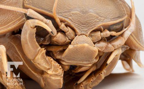World's Largest Pill Bug (Bathynomus)
