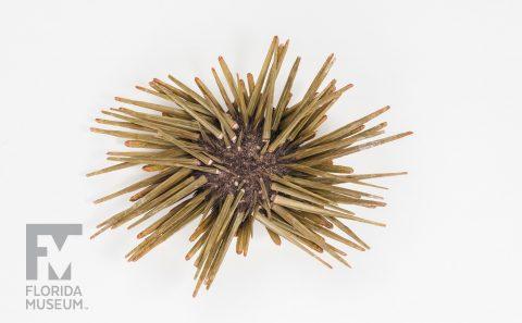 Pencil Urchins