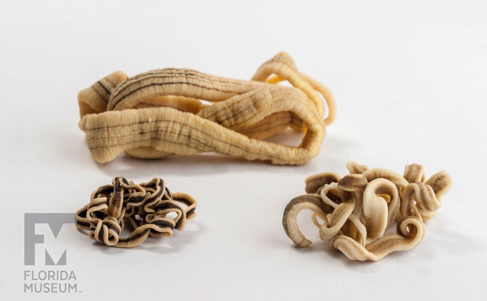 Ribbon Worms