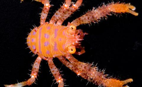 Squat Lobster