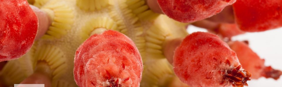Strawberry Urchin