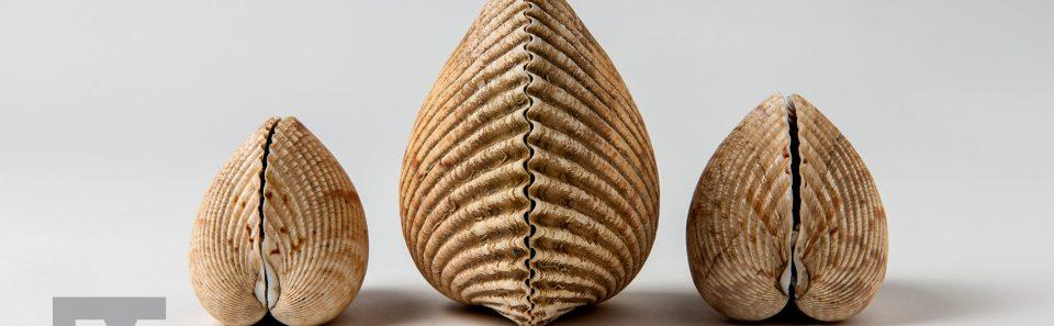 Van Hyning Cockle Shells