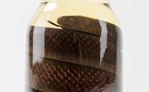 Gulf Coast Indigo Snake