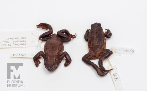 Jambato Toads