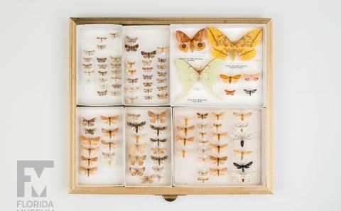 Paynes Prairie Moths (various species)