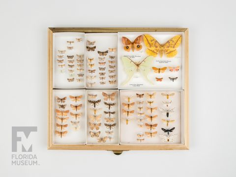 Paynes Prairie Moths (various species)