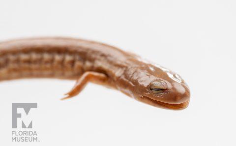 Rusty Mud Salamander