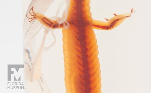 Cleared and Stained Salamander