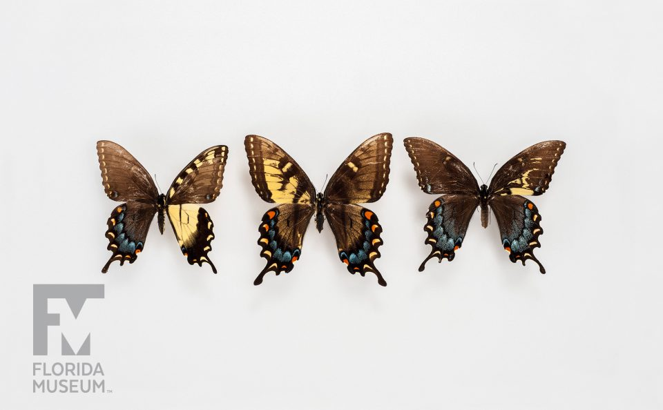 Eastern Tiger Swallowtail Gynandromorphs